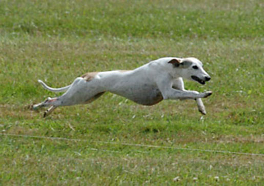Indianapolis Indiana Whippet Breeder